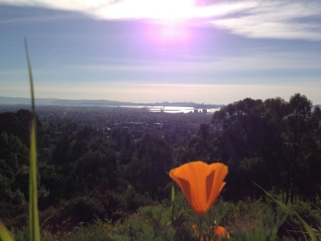 California poppy in the East Bay.